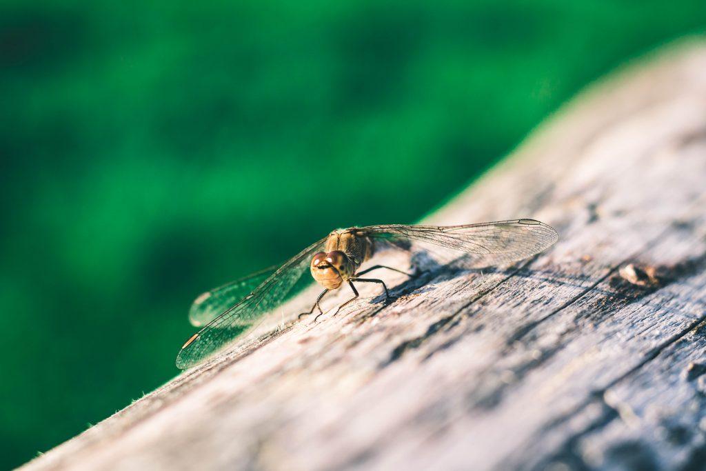 Portrait einer sitzenden Libelle in der Natur